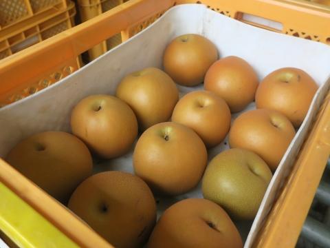 「最後の梨の選果場」③