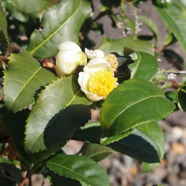 600菩提樹とお茶の花4