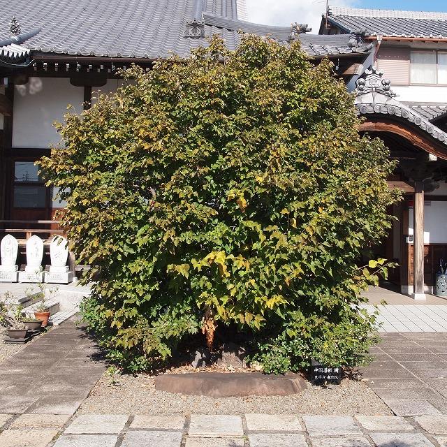 600菩提樹とお茶の花1