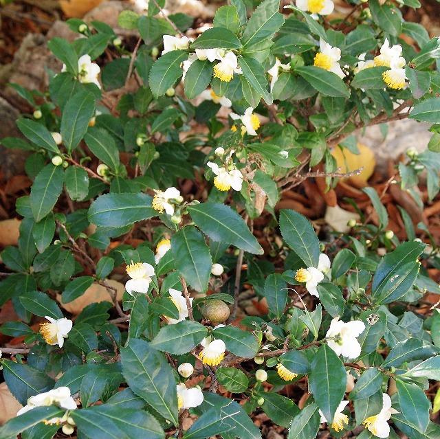 600菩提樹とお茶の花3
