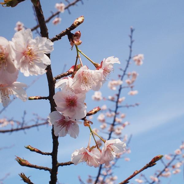 600桜に学ぶ1902243