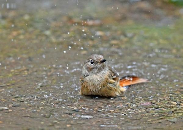ジョウビタキ2雌水浴び DSG_4376