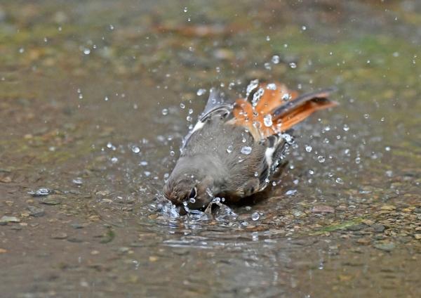 ジョウビタキ4雌水浴び DSG_4388