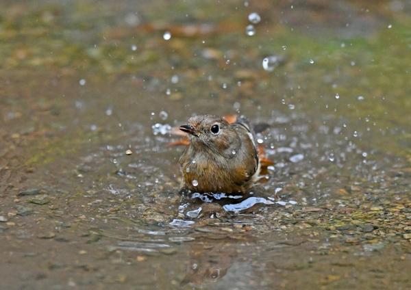ジョウビタキ5雌水浴び DSG_4396