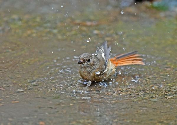 ジョウビタキ6雌水浴び DSG_4436