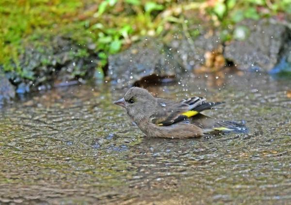 カワラヒワ水浴び1 DSF_8244