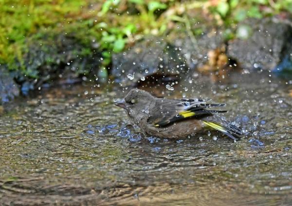 カワラヒワ水浴び2 DSF_8243