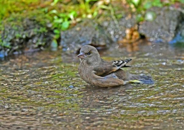 カワラヒワ水浴び3 DSF_8246