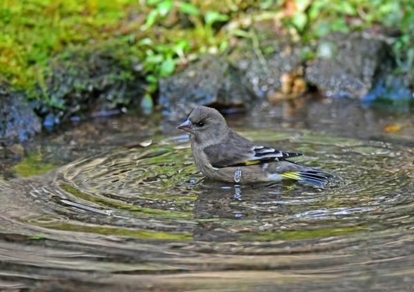 カワラヒワ水浴び4 DSF_8235
