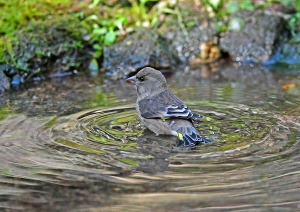 カワラヒワ水浴び5 DSF_8230