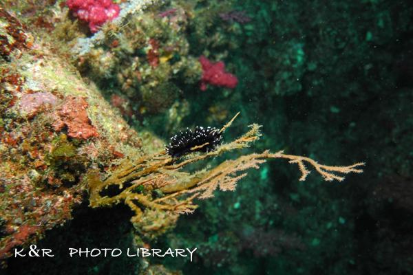 2018年9月8日伊豆海洋公園6スミゾメミノウミウシ