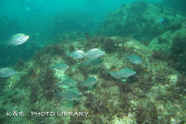 2018年9月8日伊豆海洋公園10アオタナゴの群れ