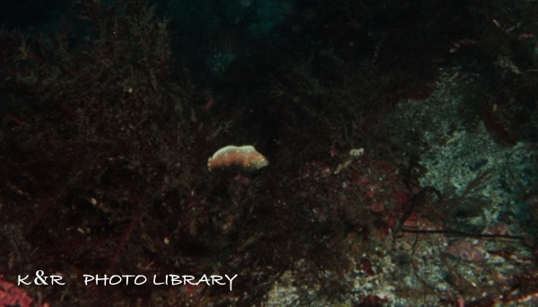 2018年9月8日伊豆海洋公園6セジロノドグロベラ