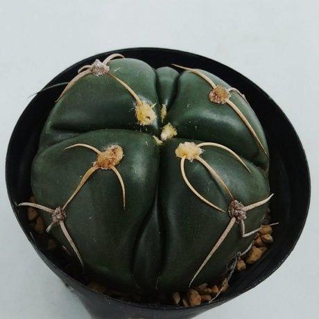 190220--DSC_0355--denudatum--GF 54--Bercht seed