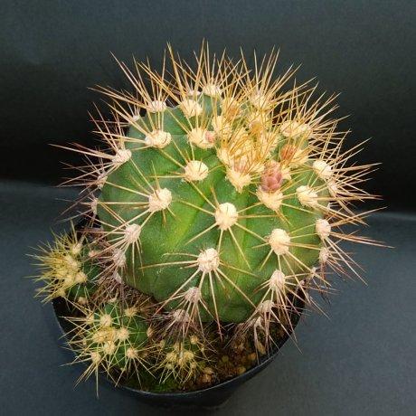 190225--DSC_0384--chcoense--STO 990--Amerhauser seed (2009)
