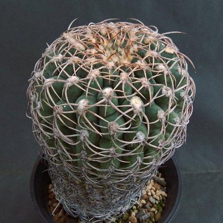 190220--DSC_0341--ochoterenae v herbsthoferianum--LB 386--Piltz seed