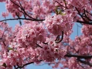 土肥河津桜 (1)