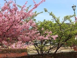 土肥河津桜 (2)