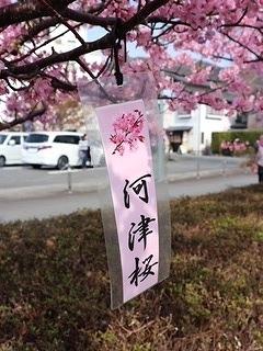 土肥河津桜 (8)