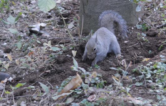 '18.12.4 japanese squirrel 5685