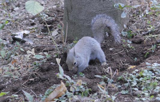 '18.12.4 japanese squirrel 5688