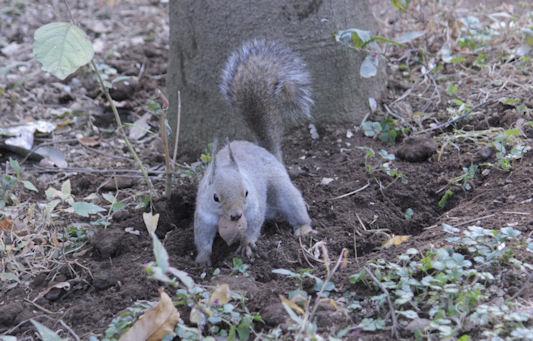 '18.12.4 japanese squirrel 5689