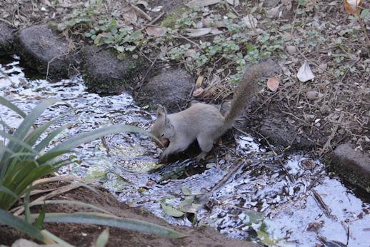 '18.12.4 japanese squirrel 5699
