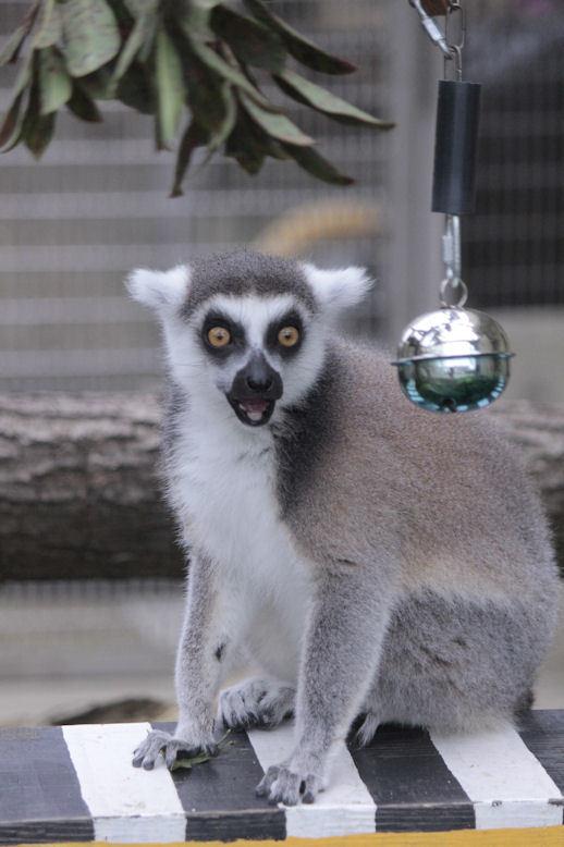 '19.2.3 ring-tailed lemur 1547