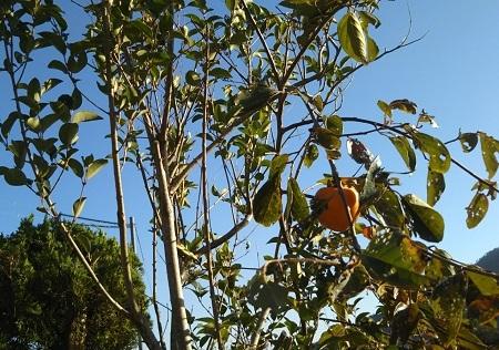 コッソリな柿