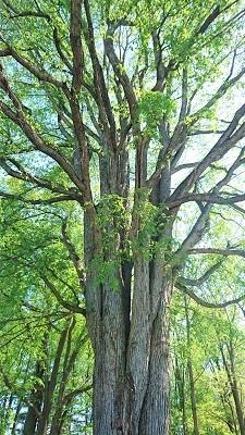 六花の森 大樹