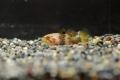 マトシボリ 幼魚