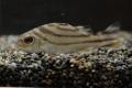 コトヒキ 幼魚