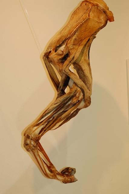 ライオン筋骨格乾燥標本