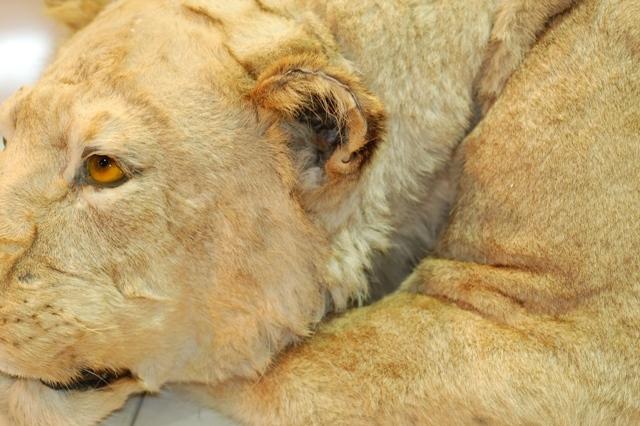 ライオン剥製