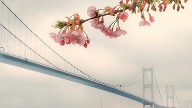 河津桜 H31年2月11日