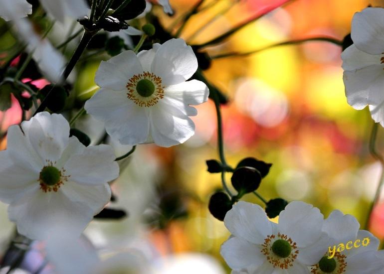 横浜イングリッシュガーデンの秋バラ