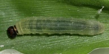 384-ヒメキマダラセセリ4齢幼虫12mm-2018-10-08-P1130511