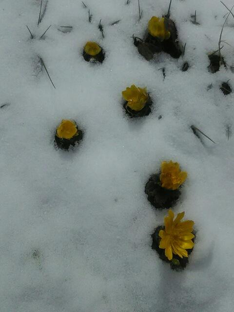雪のフクジュソウ2