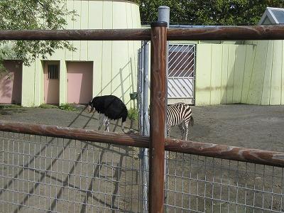 釧路動物園ダチョウとシマウマ