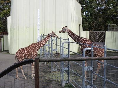 釧路動物園キリン