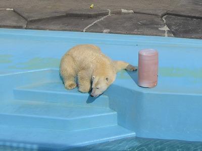 釧路動物園北極グマ