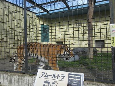 釧路動物園アムールトラ