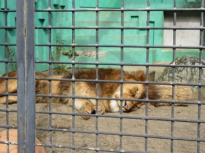 釧路動物園ライオン