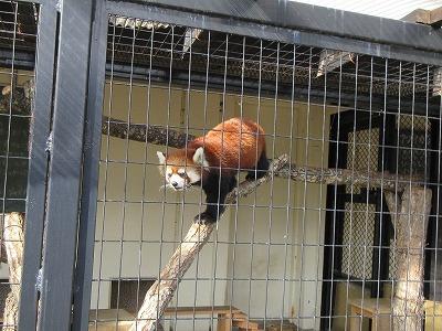 釧路動物園レッサーパンダ