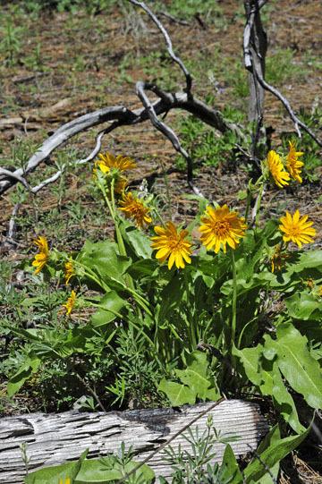 blog 60 Klamath Basin, Klamath Falls, Upper Klamath Lake, Wocus Bay, Doak Mountain, Fremont-Winema NF, Mule Ears, S. OR_DSC3260-5.12.16.(1).jpg