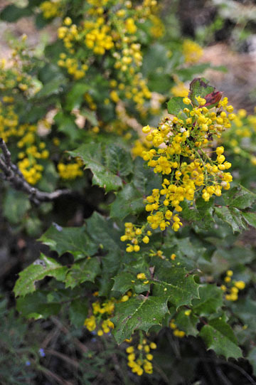 blog 60 Klamath Basin, Klamath Falls, Upper Klamath Lake, Wocus Bay, Doak Mountain, Fremont-Winema NF, Oregon Grape, S. OR_DSC3255-5.12.16.(1).jpg