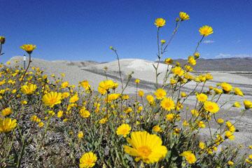 blog (6x4@300) Yoko 14 Beaty, NV to Death Valley, CA~374W-190E, Corkscrew Peak to Badwater Basin, Salsbury Pass to 178S Shoshone, Desert Sunflower, CA_DSC8041-3.23.17.jpg