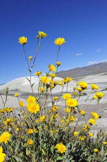 blog (4x6@300) Yoko 14 Beaty, NV to Death Valley, CA~374W-190E, Corkscrew Peak to Badwater Basin, Salsbury Pass to 178S Shoshone, Desert Sunflower, CA 2_DSC8038-3.23.17.jpg