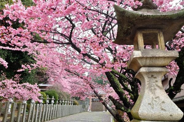 5薄紅寒桜190228