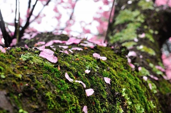 4薄紅寒桜190228